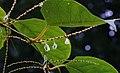 Reynoutria japonica fruit (17).jpg