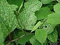 Reynoutria japonica leaf (10).jpg