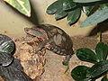 Rhinoclemmys-pulcherrima-incisa-Zoo-Berlin-1900.JPG