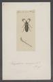 Rhipidocera - Print - Iconographia Zoologica - Special Collections University of Amsterdam - UBAINV0274 025 01 0005.tif