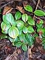 Rhodamnia maideniana coppice leaves.jpg
