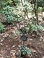 Rhododendron araiophyllum - Kunming Botanical Garden - DSC02846.JPG