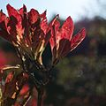 Rhododendron molle - Flickr - odako1 (3).jpg