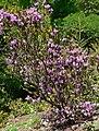 Rhododendron rubiginosum 1.jpg