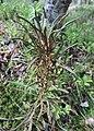 Rhododendron tomentosum kz07.jpg