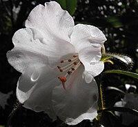 Rhododendronciliatum