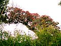 Rhododendrone near barsey rhododendrone sanctuary 02.jpg