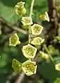 Ribes nigrum kz08.jpg
