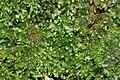 Riccardia palmata IMG 1110.jpg