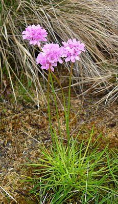 Purpur-Grasnelke (Armeria maritima subsp. purpurea)