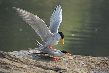 River Tern Mating.jpg