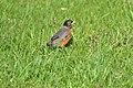 Robin (6890591534).jpg