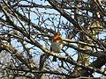Robin on Duck Pond Lane, Birkenhead.jpg