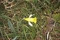 Roc'h Trévezel - Narcissus pseudonarcissus.jpg