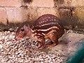 Rodentia - Cuniculus paca - 1.jpg