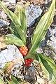 Rohdea japonica s5.jpg