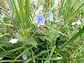 Romanian Flora - Wild blue flower 05.JPG