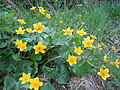 Romanian Flora - Wild flower 01.JPG