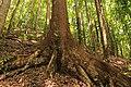Root of a mahogony tre in Bohol.jpg
