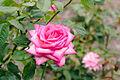 Rosa 'Wedding Bells'.jpg