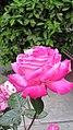 Rosa 01.jpg