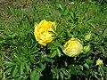 Rosa Persian Yellow 2019-06-03 4576.jpg
