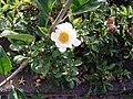Rosa bracteata J. C. Wendl. (AM AK312346-6).jpg