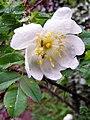 Rosa spinosissima inflorescence (08).jpg