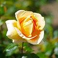 Rose, Candle light, バラ, キャンドルライト, (15223640706).jpg