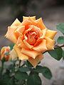 Rose, Old Time, バラ, オールド タイム, (15301324424).jpg