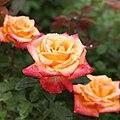 Rose, Tokonatsu, バラ, 常夏, (15340907164).jpg
