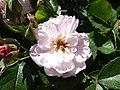 Rose garden, Forty Hall (35608326816).jpg