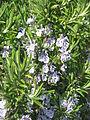Rosmarinus officinalis02.jpg