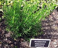 Rosmarinus officinalis ubt.jpeg