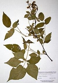 Rubus allegheniensis BW-1979-0604-0634.jpg
