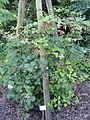 Rubus bifrons - Botanischer Garten, Frankfurt am Main - DSC02469.JPG