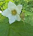 Rubus parviflorus 1.jpg