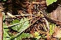Rubus pedatus 1375.JPG