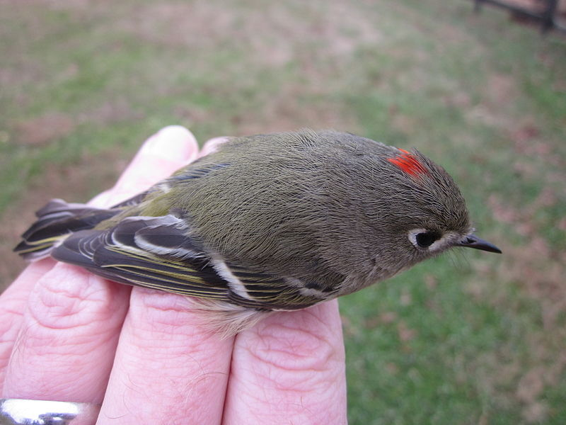 File:Ruby-crowned kinglet in hand.JPG