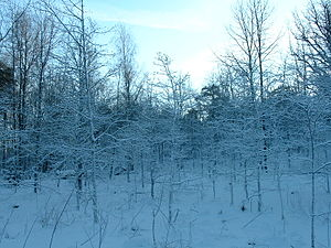Ruissalo winter forest