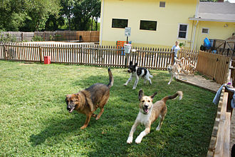 Dog daycare - Dogs running in the yard at a dog daycare.