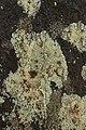 Rursee 14.04.2017 Lichen (33496175913).jpg