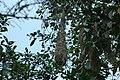 Russet-backed Oropendola nest 2015-06-12 (1) (40328150591).jpg