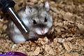 Russian hamster.JPG