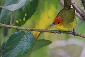 Rust-and-yellow Tanager.jpg