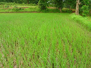 System of Rice Intensification - Image: SRI fields left almost dry
