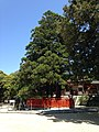 "Sacred tree ""Ayasugi"" in Kashii Shrine 20150426.jpg"