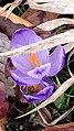 Saffron - Crocus vernus 26.jpg