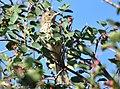 Sage thrasher on Seedskadee National Wildlife Refuge (36340920055).jpg