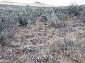 Sagebrush steppe near Hill City (9672620059).jpg